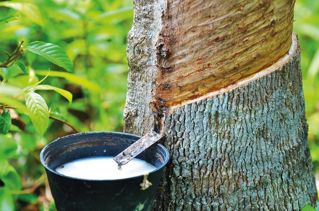 Latex aus Kautschuk aus dem Baum